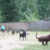 Dogs Playing - Dog Hotel Vancouver - Ruff Stuff Dog Service