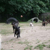 Dogs Chasing Ball - Ruff Stuff Dog Services