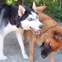 dogs-playing-squamish-ruff-stuff-dog-services