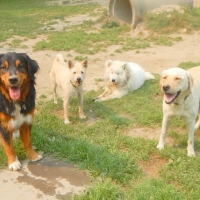 four-dogs-ruff-stuff-dog-services