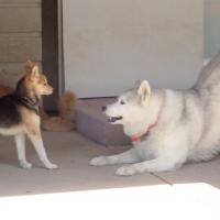 small-dog-playing-ruff-stuff-dog-services