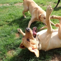 two-dogs-playing-Squamish-ruff-stuff-dog-services