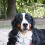 Bernese Mountain Dog sitting outside Ruff Stuff Dog Daycare walking and Boarding
