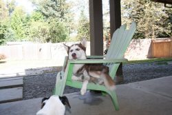 Siberian Husky in a chair Ruff Stuff Dog Daycare walking and Boarding
