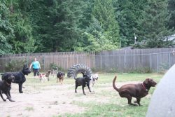 Dogs Playing   Dog Boarding Squamish and Vancouver   Ruff Stuff Dog Services