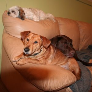 Three dogs sleeping sofa Ruff Stuff Dog Daycare walking and Boarding
