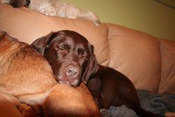 Labrador Retriever sleeping Ruff Stuff Dog Daycare walking and Boarding