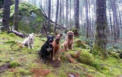 Group of dogs in Squamish Ruff Stuff Dog Daycare walking and Boarding