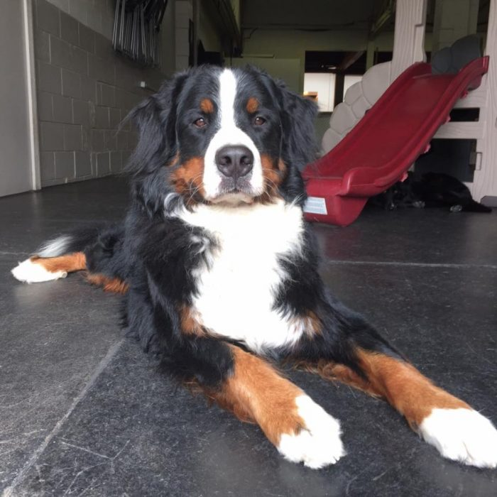 Bernese Mountain Dog Ruff Stuff Dog Daycare walking and Boarding