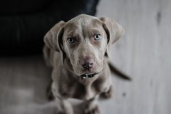 weimaraner puppy Ruff Stuff Dog Daycare walking and Boarding
