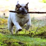 dog with stick - dog daycare vancouver - Ruff Stuff Dog Services.